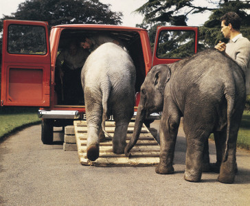 Transport an elephant. Faced with moving two baby elephants at London Zoo in 1965, handlers turned to their Transit to get the job done