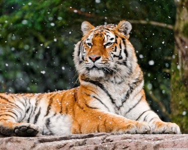 siberian_tigress-wallpaper-2560x2048
